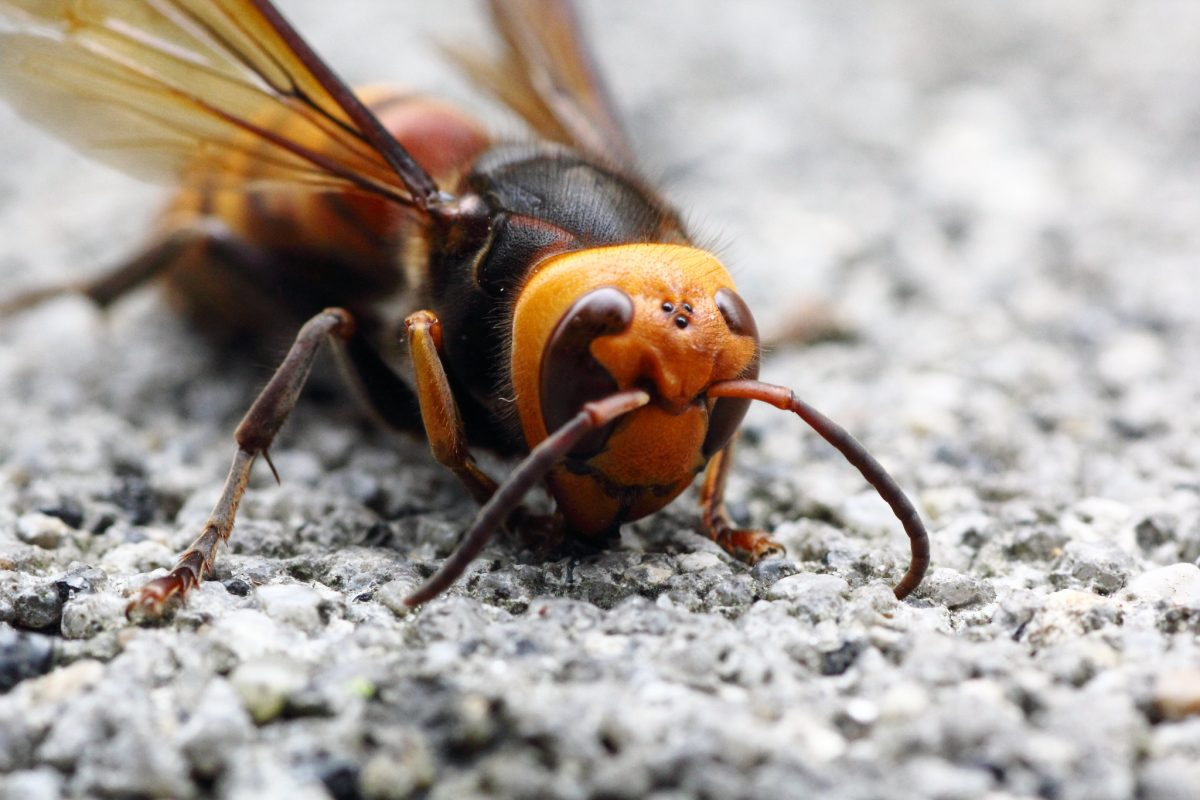 Invasive 'murder hornets' have been spotted in the U.S.