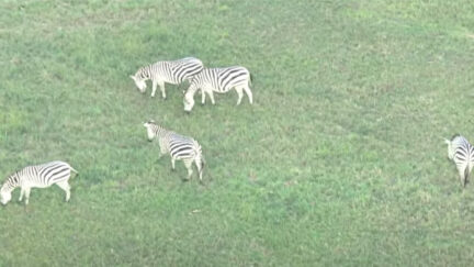Zebras on the Loose in Maryland
